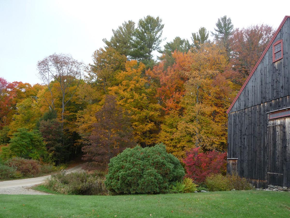 autumn foliage and Pinus strobus 'Soft Touch'