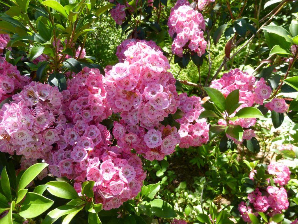 Kalmia latifolia pink cultivar