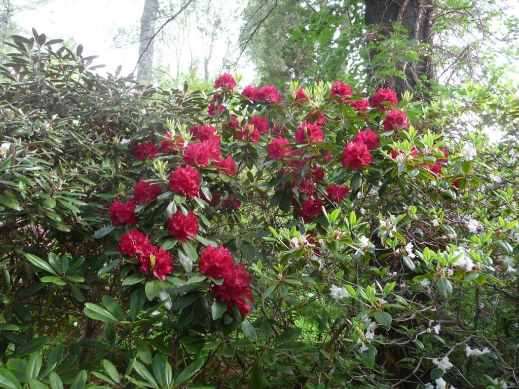 Rhododendron 'Henry's Red'