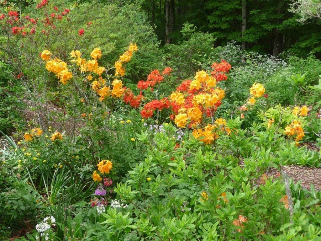 Exbury Azaleas (lower garden)