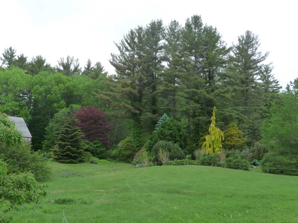 Conifers and Fagus looking northeast
