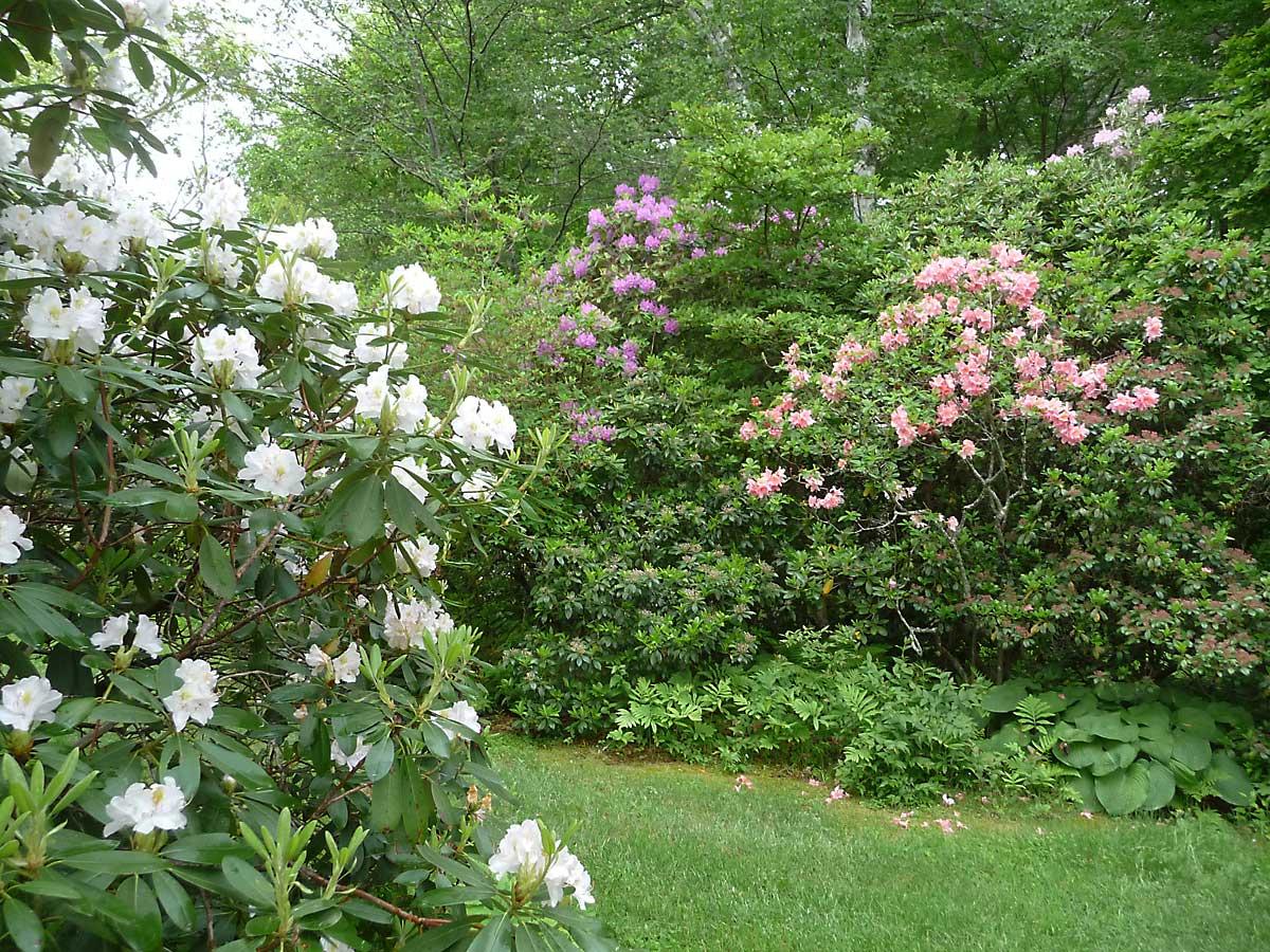 L to R. Rhododendron 'Catawbiense Album', Rh. 'Boursault', and Azalea 'Debutante'