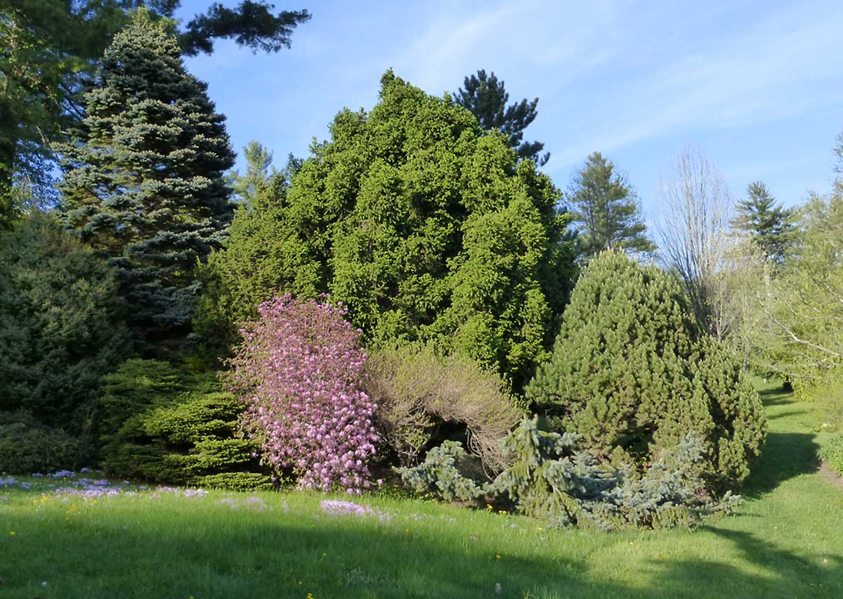 """""""Dwarf """" conifers and Rhododendron 'Olga'"""