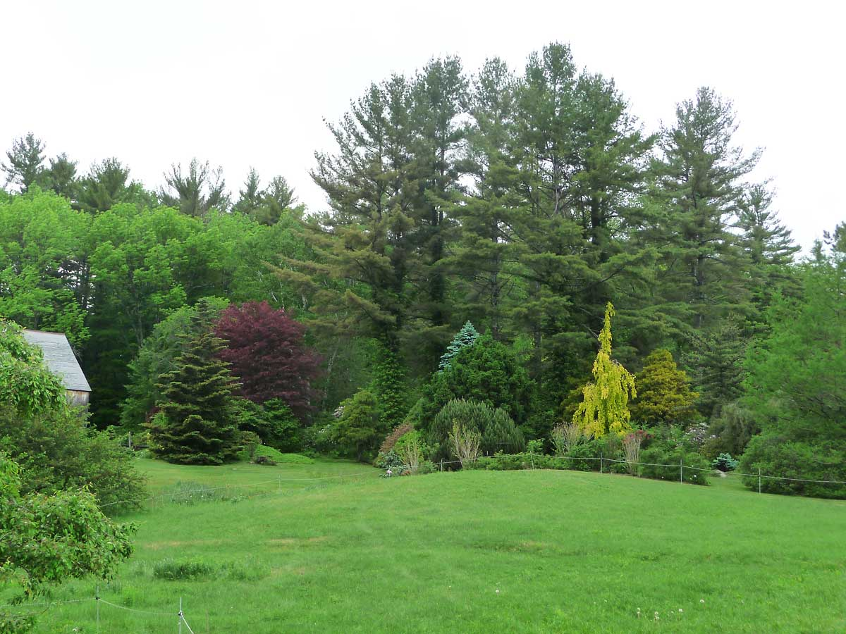 margin of upper woodland gardens showing conifers, and Fagus sylvatica 'Aurea Pendula'