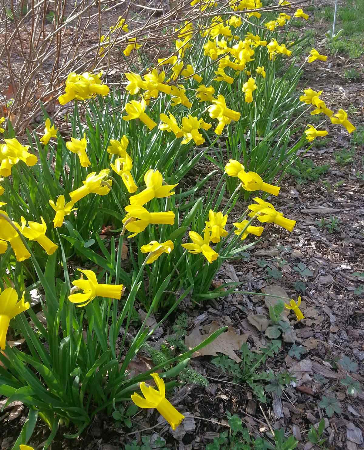 Narcissus 'Rapture'