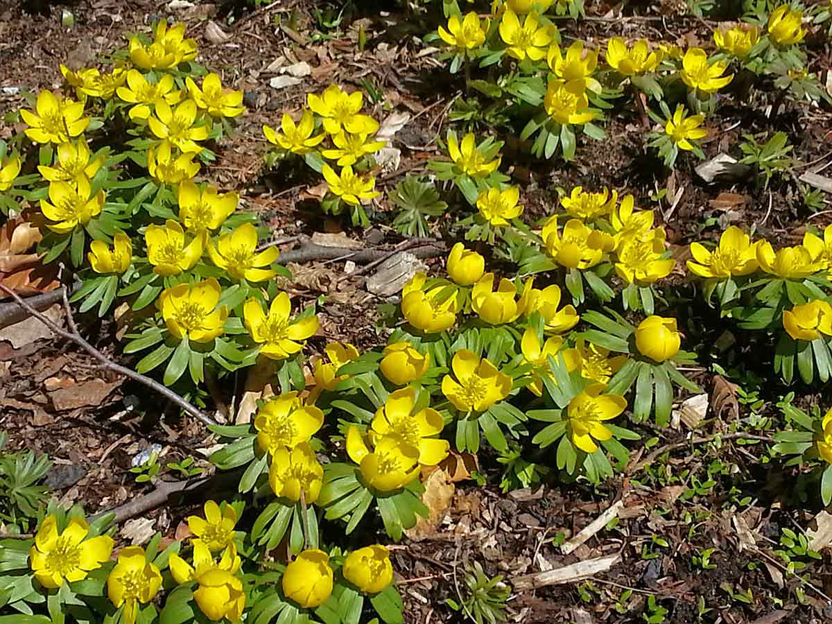 Eranthus hyemelis